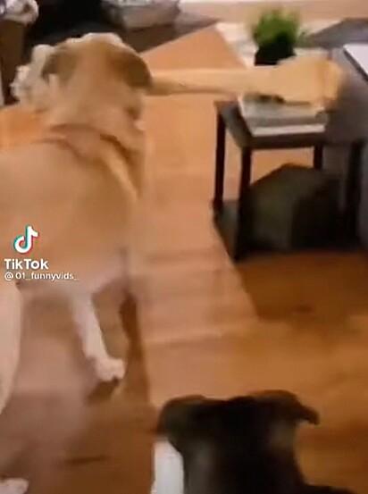 O cão perdeu a noção do espaço e destruiu com uma das decorações da sala.