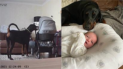 Doberman é flagrado oferecendo o seu brinquedo para o bebê da família.