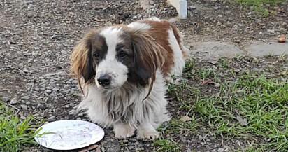 O cão sofreu um acidente o corre o risco de ficar paraplégico.