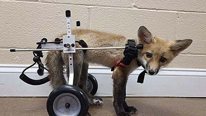 A raposa Asia ganhou uma cadeira de rodas.