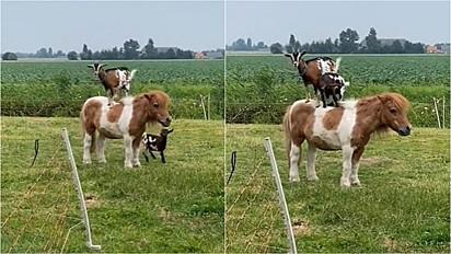 Pônei encanta por sua paciência em permitir que cabras pulem em suas costas.
