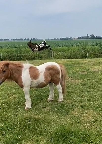 A cabras se divertiam dando altos pulos.