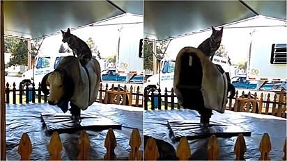 Cachorro encanta com tamanho equilíbrio em touro mecânico.