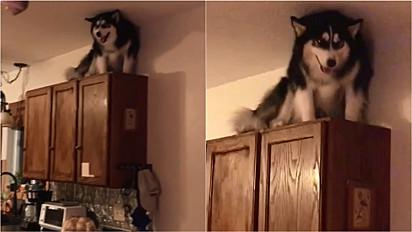 Husky siberiano é flagrado em cima do aéreo da cozinha.