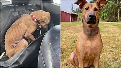 Cachorra resgatada da eutanásia passa por verdadeira transformação.