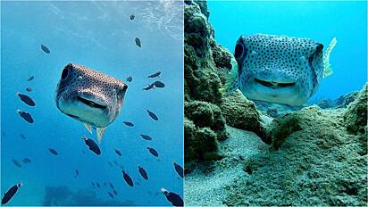 Peixe sorri para sua amiga mergulhadora.