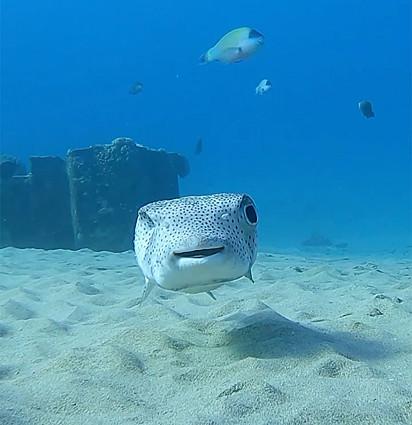 O peixe porco-espinho.