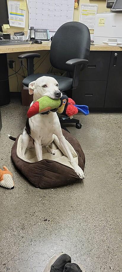 Ao ouvir algum barulho se aproximando a cachorrinha logo pega um brinquedo na boca para oferecer a visita.