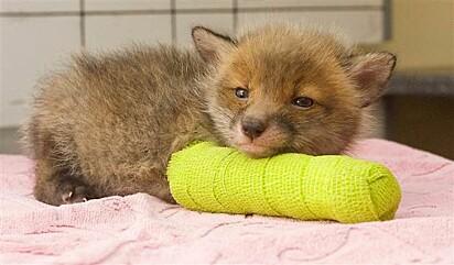 Esse filhote de raposa é de derreter corações.