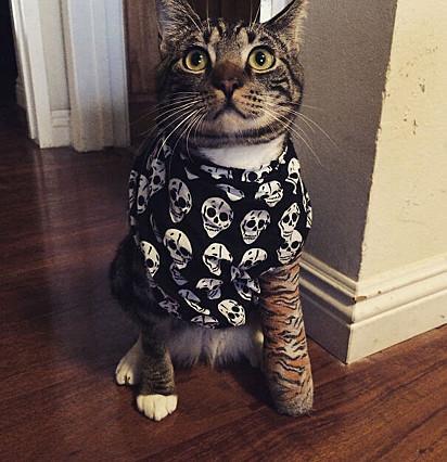 Esse gatinho está parecendo muito tranquilo com o seu gesso de tigre e bandana de pirata.