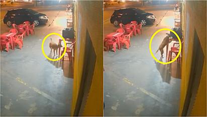 Vira-lata caramelo é flagrado roubando lanche de motoboy.