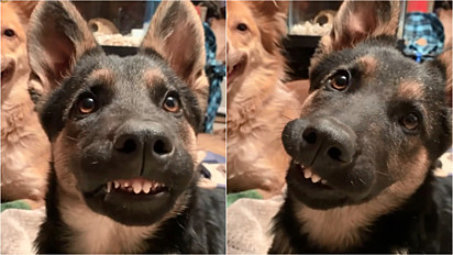 Tutora flagra momento que a sua pastora alemã mostra os dentinhos.