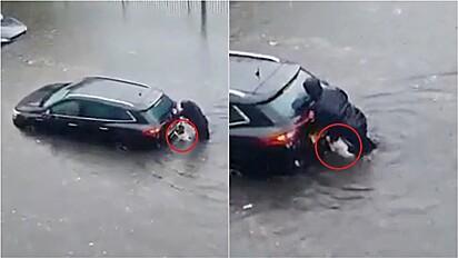 Springer spaniel ajuda dona a empurrar carro em meio a enchente na Escócia.