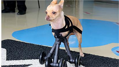 Chihuahua ganha prótese em impressão 3D para melhorar sua locomoção.