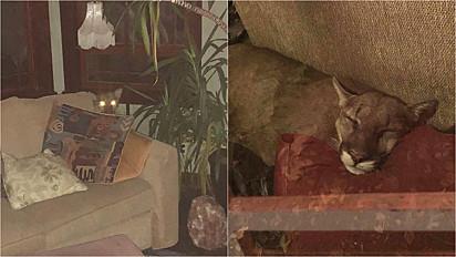 Puma invade casa de mulher e dorme em no sofá por longas horas.