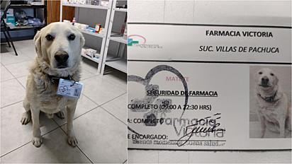 Cachorro comunitário é contratado por farmácia como segurança e ganha crachá.