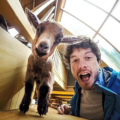 Esta cabra chamada Nigel foi salva porque sua mãe foi atropelada por um carro. Ele agora fica na recepção fazendo os visitantes sorrirem no Kiwi Birdlife Park em Queenstown.