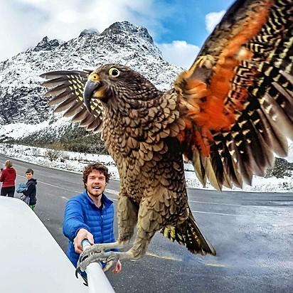 Mostre ao mundo suas verdadeiras cores. Keas, um papagaio Alpino que ama as montanhas.