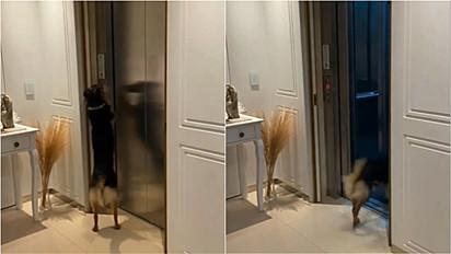 Vira-lata viraliza ao chamar elevador de prédio para brincar sozinha na área de lazer.