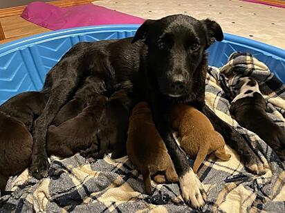 A cachorrinha Pepper adotou os filhotes órfãos.