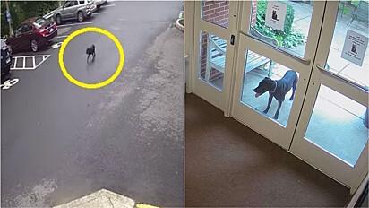 Cachorrinha percorre 3,2 km a pé para procurar tutora no trabalho.