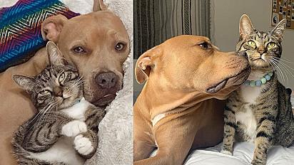 Pit bull e gato se tornam melhores amigos após serem adotados.