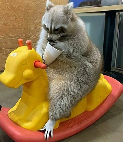 Guaxinim comendo papá em seu cavalinho de brinquedo.