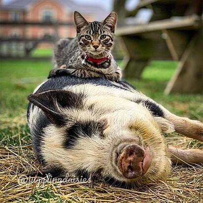 Ernest criou um forte vínculo com os porcos da fazenda.
