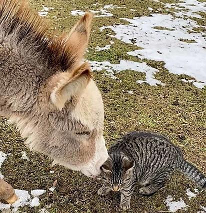 O felino tem estendido a atenção para um burrinho.