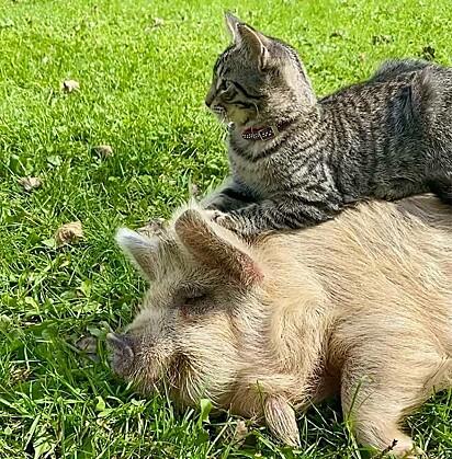O gatinho também gosta de descansar em cima dos seus amigos.