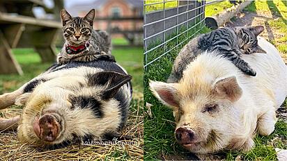 Gato faz amizade com quarteto de porcos e adora massageá-los.
