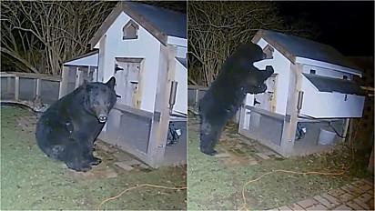 Família acorda assustada durante madrugada com um urso em seu quintal invadindo o galinheiro.