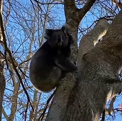 A coala estava em cima da árvore observando a movimentação.