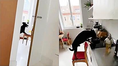 Cachorro é flagrado roubando comida na cozinha.