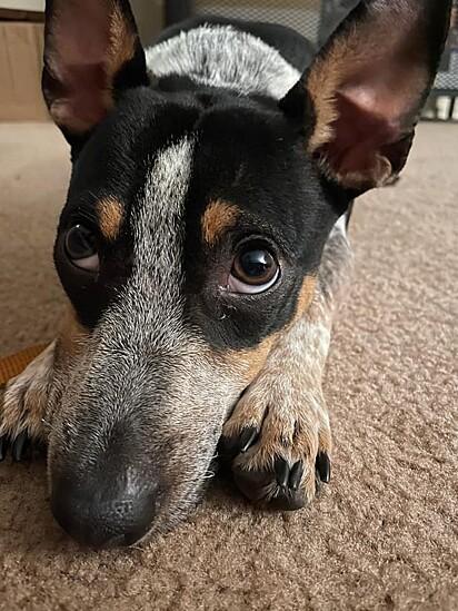 Quando foi resgatada a cachorrinha estava muito magra e cheia de pulgas.
