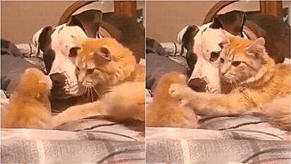 Gata apresenta filhote para o seu amigo cachorro.