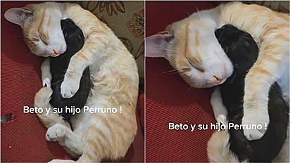 Gato é flagrado dormindo abraçadinho com filhote de cachorro.