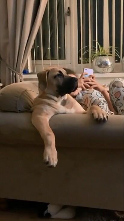 O cachorrinho foi flagrado sentado no sofá da sala assistindo futebol.