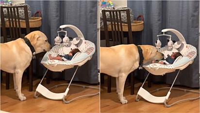 Labrador é flagrado tendo a melhor interação com bebê da família.