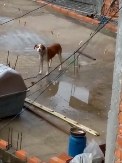 A denúncia foi de que havia um cachorro que vivia acorrentado sob sol e chuva.