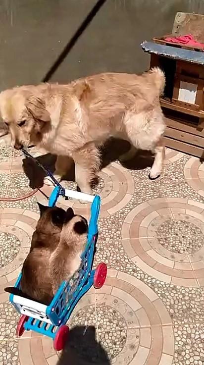 O golden retriever, Ramón, brincando com os gatinhos.
