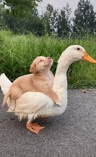 O filhote aproveitou uma carona nas costas da ave.