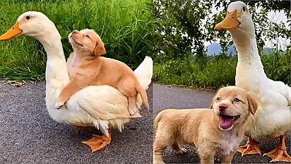 Cachorro filhote e pato encantam web com sua amizade fofa.
