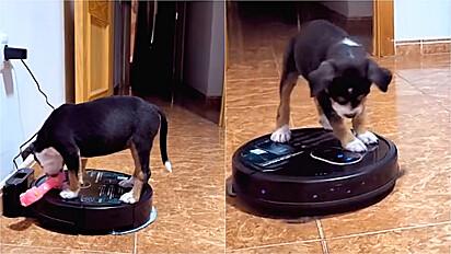Cãozinho pega carona em aspirador de pó.