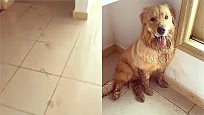Golden retriever aproveita que tutora não está em casa e sai para brincar e quando volta suja a casa.