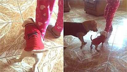 Cachorra educa filhote a não morder a canela da tutora.