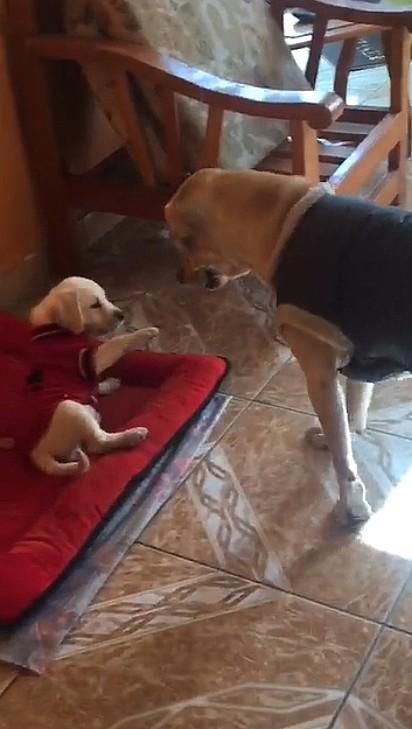A cadela imediatamente ensinou o pequeno a não tomar tal atitude.