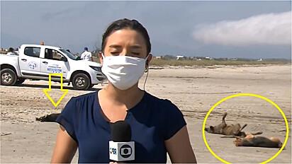 Cães roubam a cena em reportagem ao vivo.