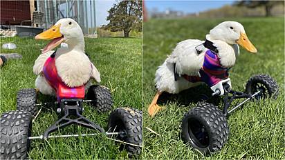 Pata paraplégica aprende a se locomover com cadeira de rodas.