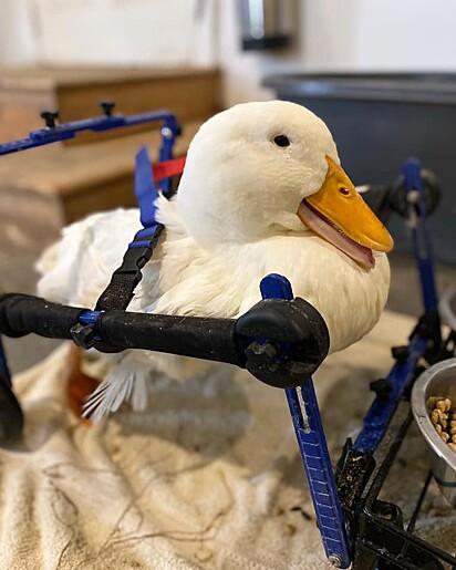 A patinha passou a usar uma cadeira de rodas comum.